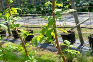 Growing Kratom the must-knows